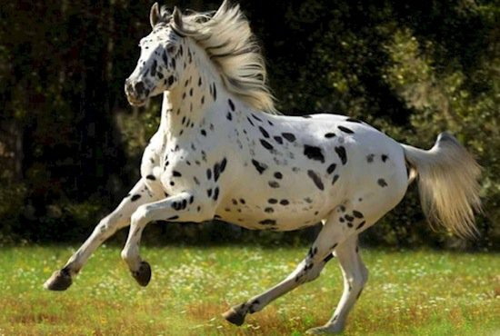 horse-dalmation
