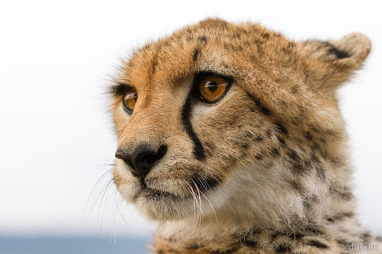 kenya-cheetah