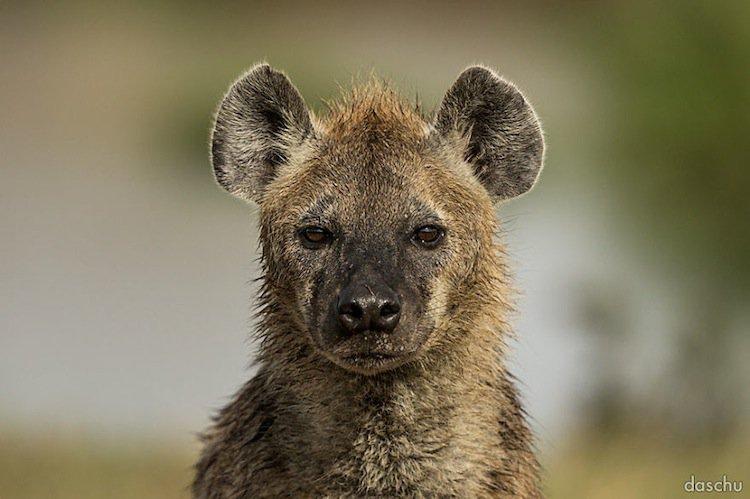 kenya-hyena