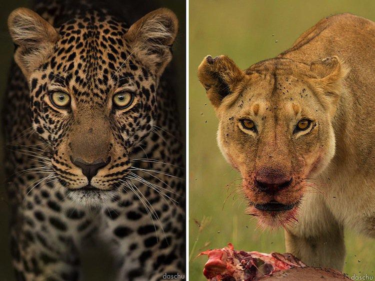 kenya-leopard
