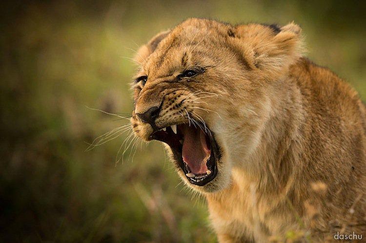 kenya-lion-cub