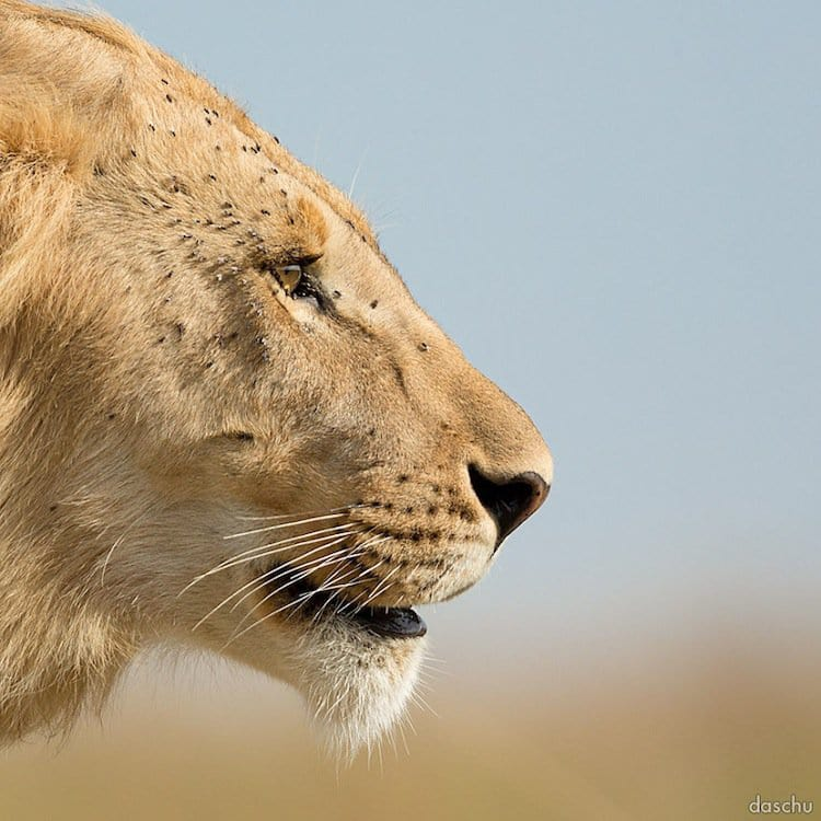 kenya-male-lion
