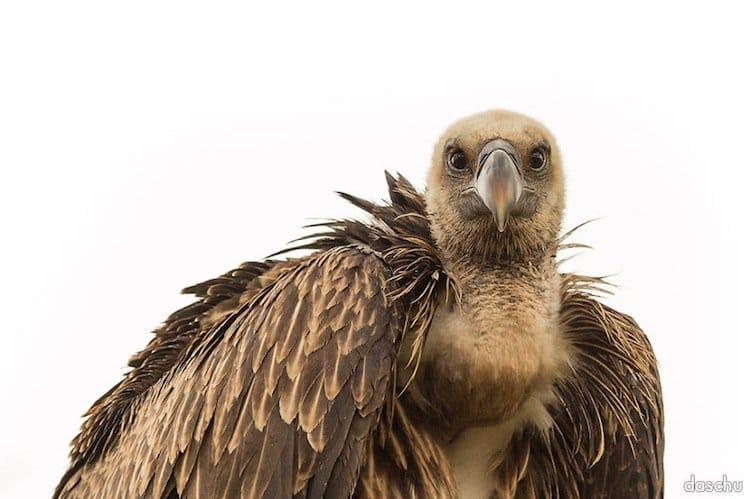 kenya-vulture