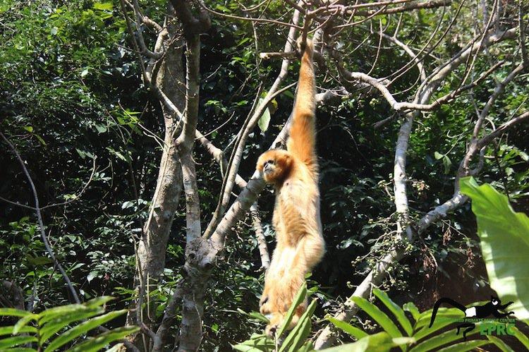 monkeys-gibbon