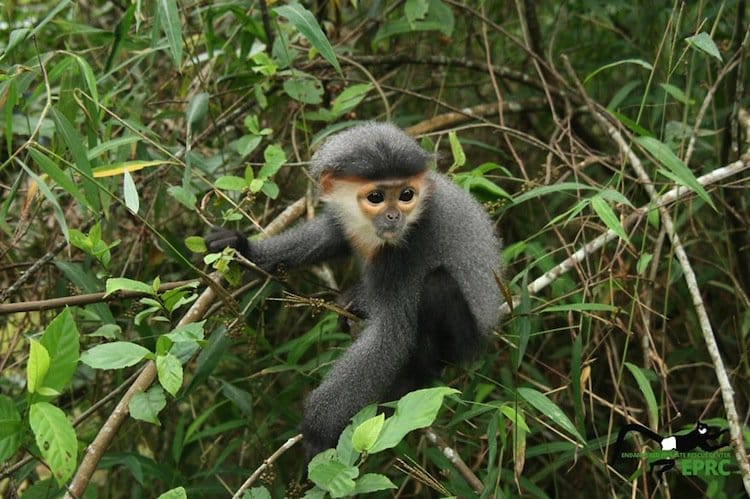 monkeys-langur