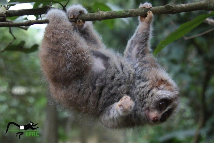 monkeys-loris