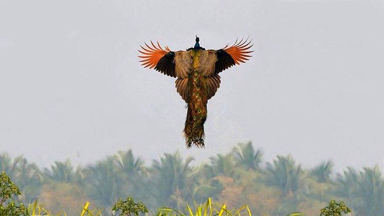 peacock-air