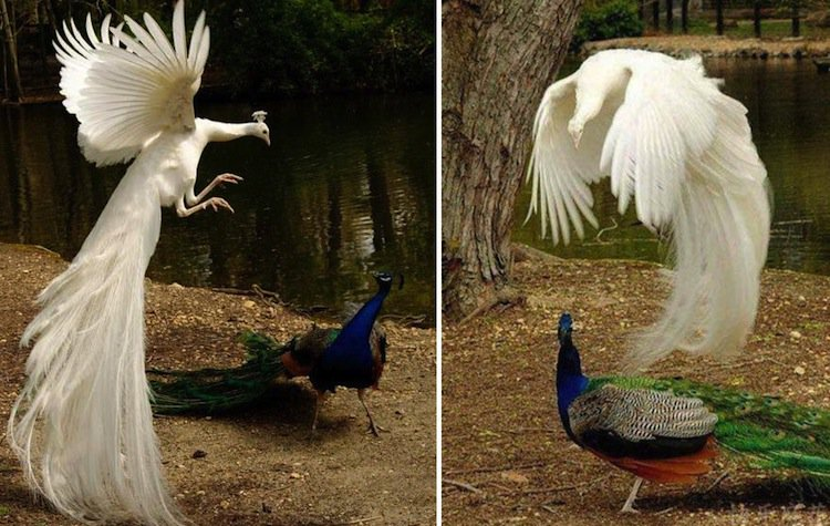 peacock-hen
