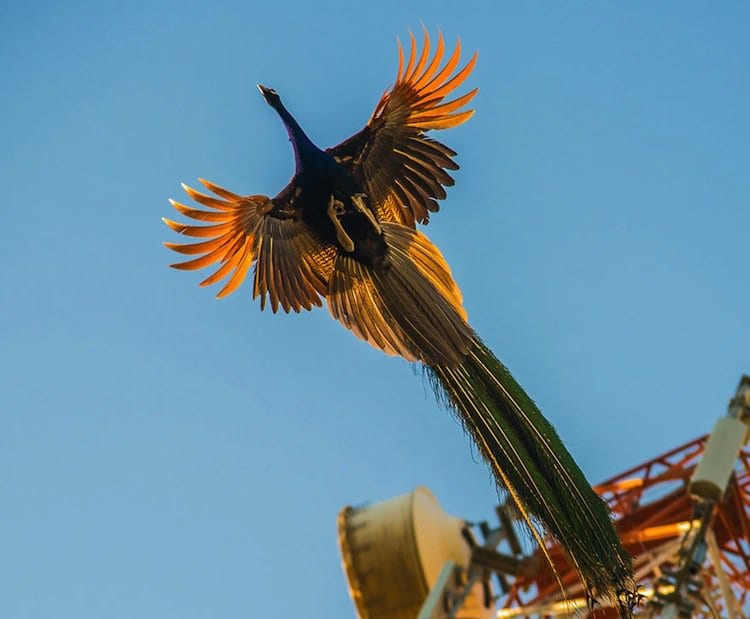 peacock-sky