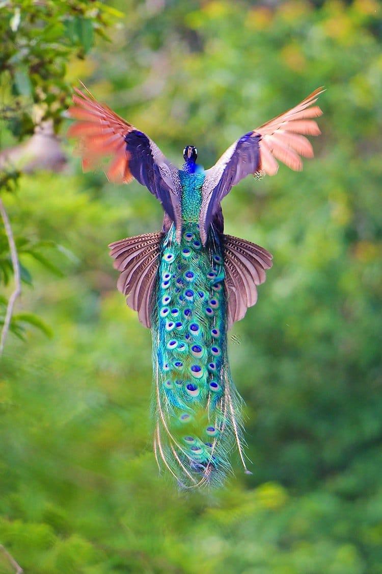 peacock-soar