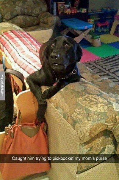 pickpocket dog