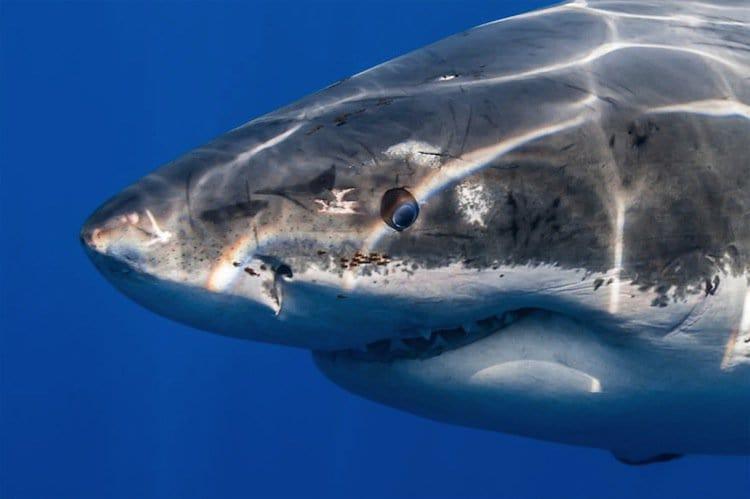 shark-eye