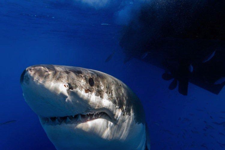 shark-face