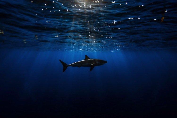 shark-first