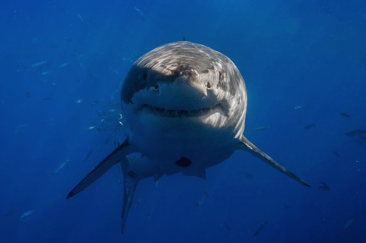14 Incredible Real Images Of Great White Sharks