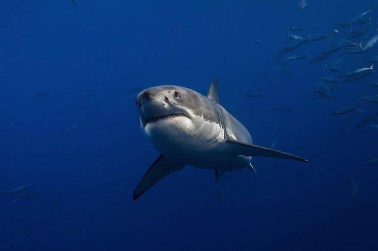 shark-swim