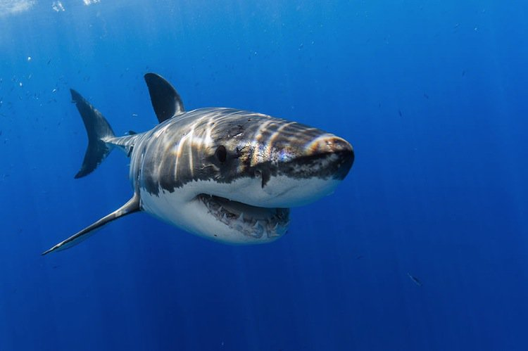 shark-teetc