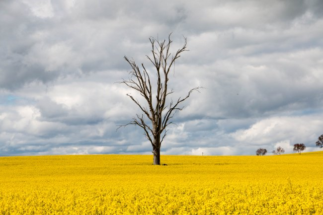 tree yellow field
