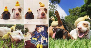 Dogs Duckling Friends Photos