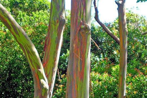 amazing-nature-hawaii-rainbow-eucalyptus