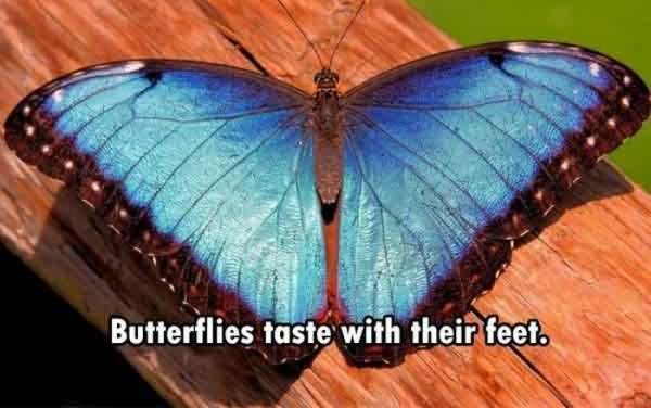 awesome-facts-butterflies