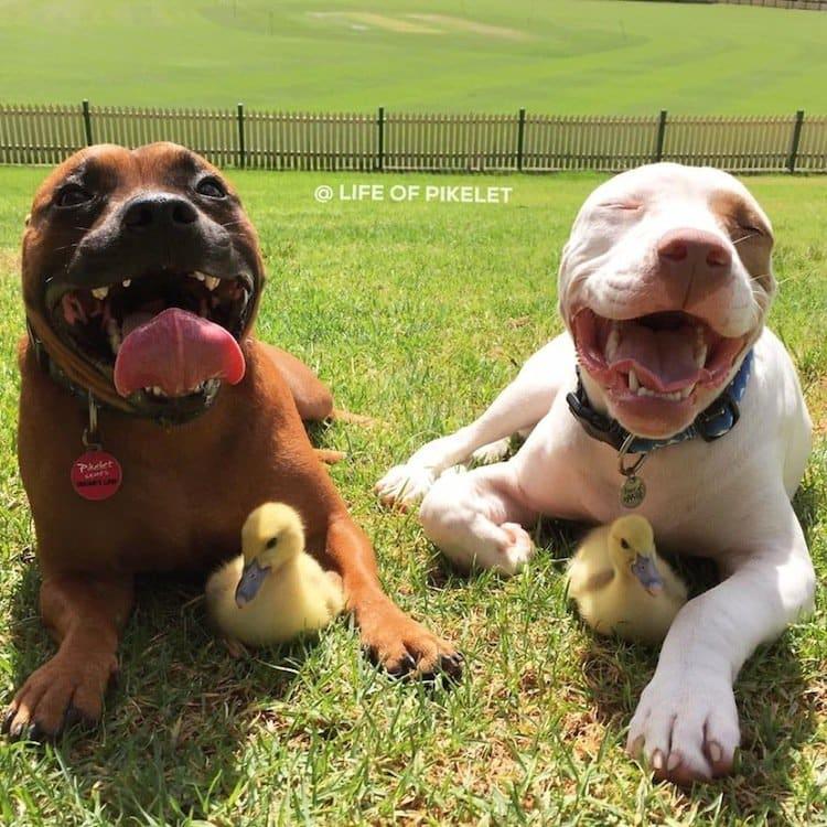duck-dog