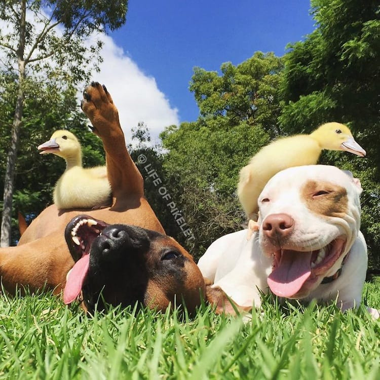 duck-doggy-duck