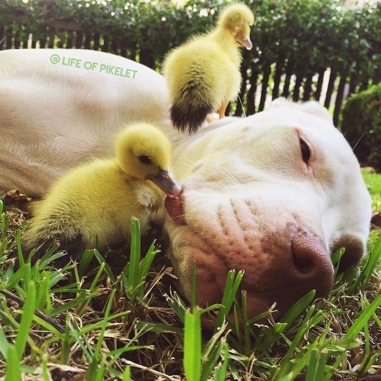 duck-duck-dog