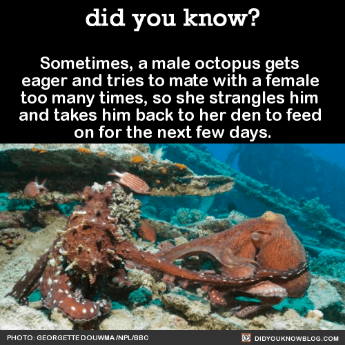 male and female octopus under the sea