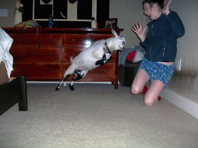 photos-moments-before-disaster-goat