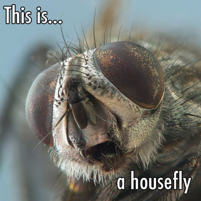 close-up-a-fly