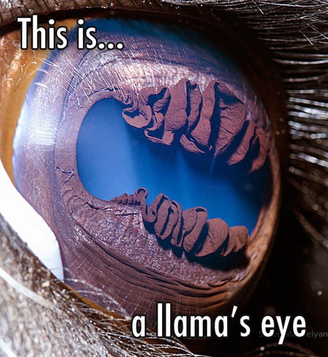 close-up-of-a-llamas-eye