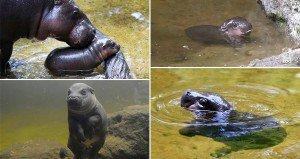 Obi Hippo Learning To Swim