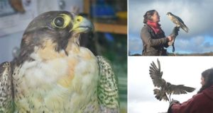 Wounded Falcon Saved From Sea