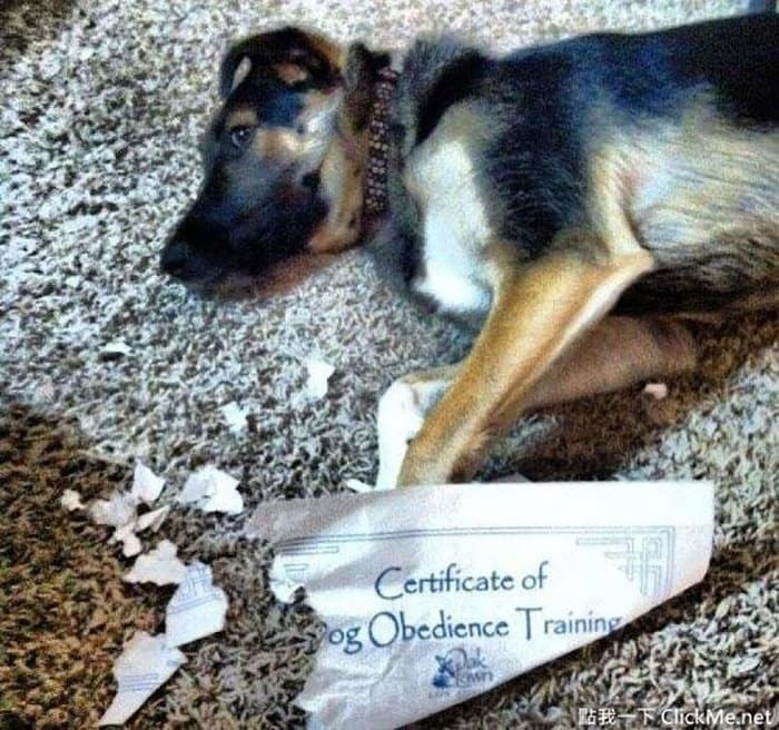 ironic images dog obedience training