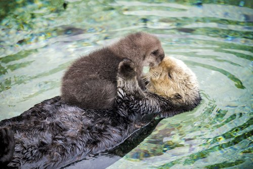 adorable-otters-sea