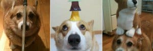 corgis with things on their heads