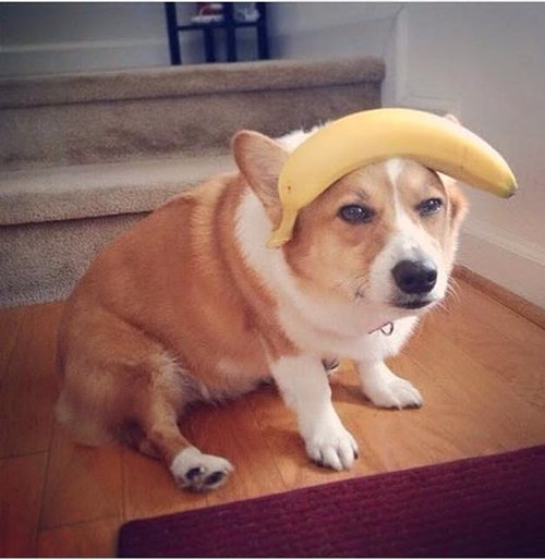 corgis-with-things-on-their-heads-banana