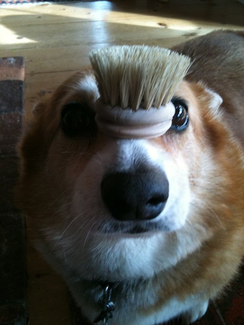 corgis-with-things-on-their-heads-brush