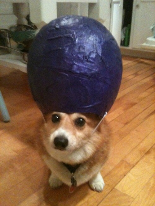 corgis-with-things-on-their-heads-hat