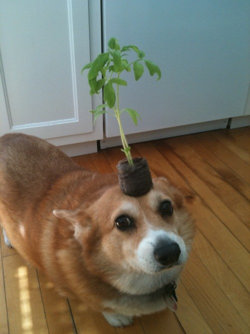 corgis-with-things-on-their-heads-plant