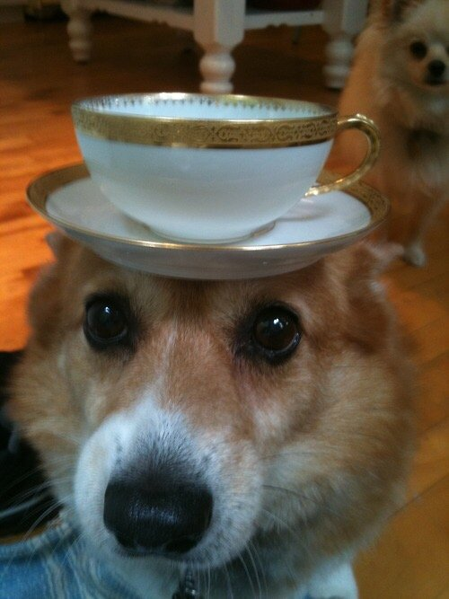 corgis-with-things-on-their-heads-teacup
