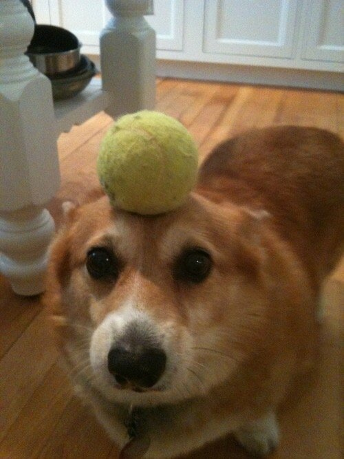 corgis-with-things-on-their-heads-tennis ball