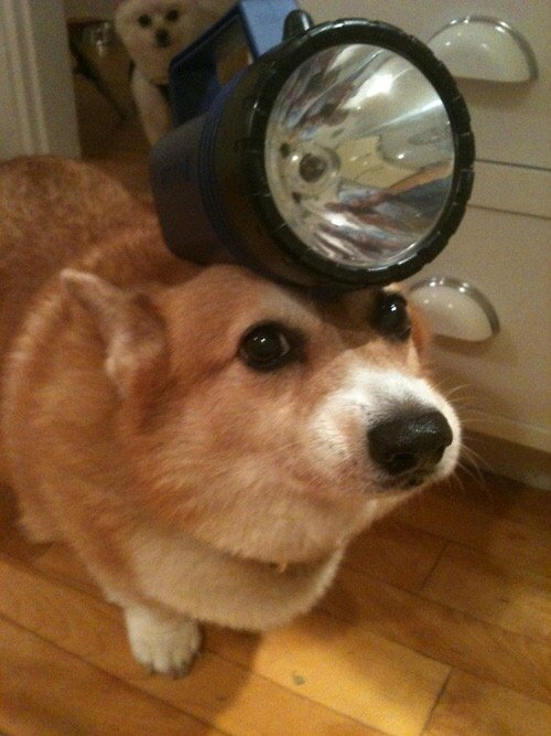 corgis-with-things-on-their-heads-torch