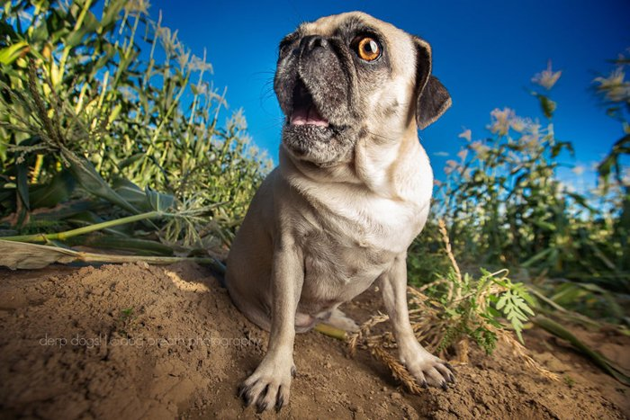 derpy-dogs-pug