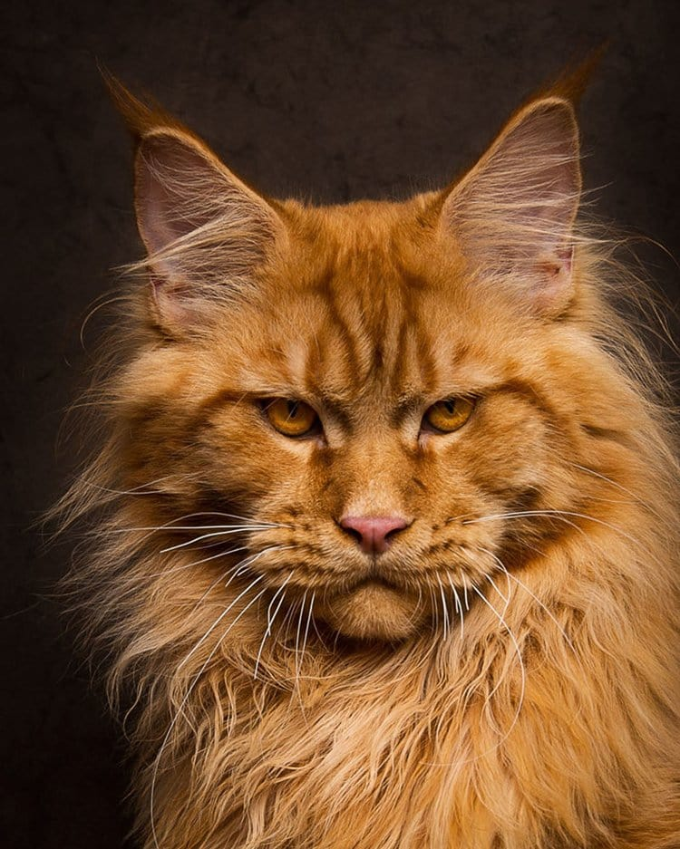 maine-coon-cat-close