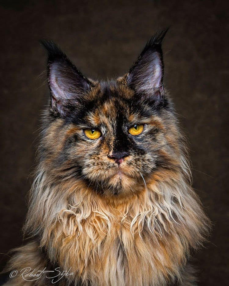maine-coon-cat-ears