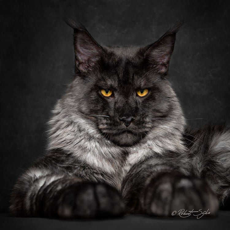 maine-coon-cat-eyes