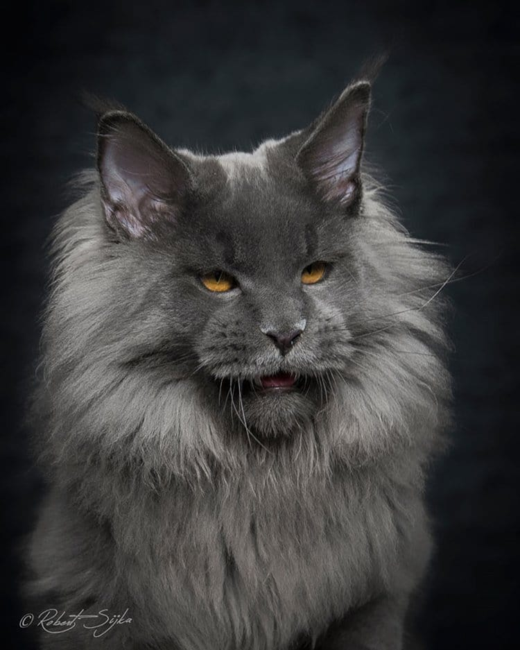 maine-coon-cat-fangs