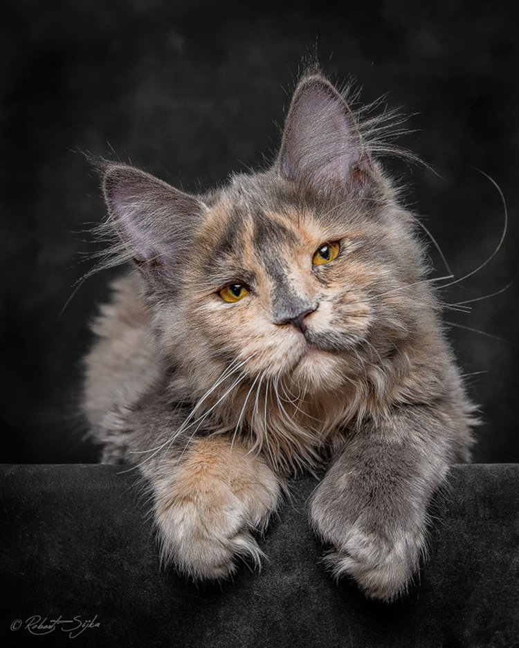 maine-coon-cat-ginger